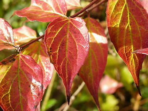 How I Work. autumn colour weigelia